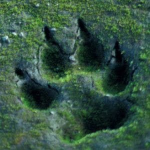 Prints similar to these were discovered near one village, but were they a big cat or wolf?